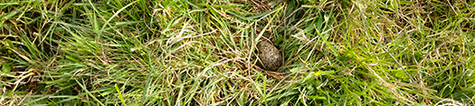 I can not believe the Dotterel are nesting in the grass at Pt England. I found two nests that I need to get fenced ASAP to stop the cattle from trampling on them.