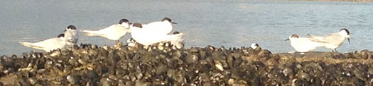 These white fronted terns looked happy but the black backed seagull and variable oyster catchers were happier eating the mussels.