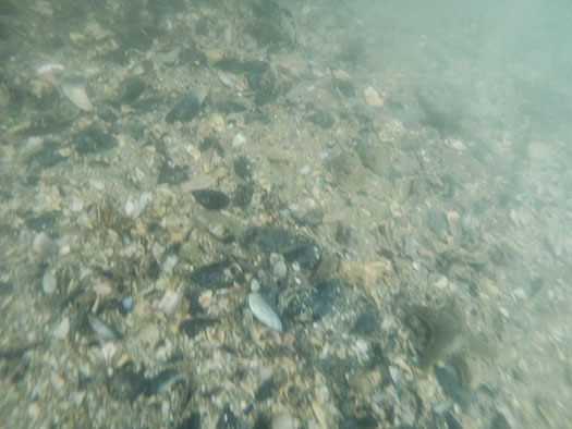 Some of the seabed around the edges of the reef was littered with shells.