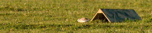Adult Dotterel not worried about feeding near the shelters