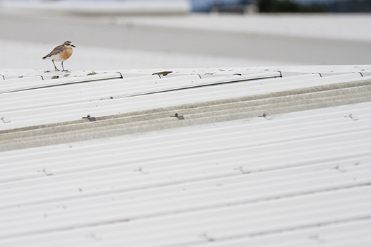 New Zealand Dotterel on a roof. Uenuku Drive, Auckland.