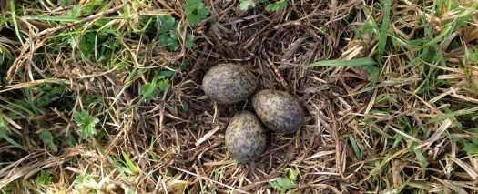 Spur Winged Plover nest 20 August. No pipping so assumed lost one to a predator, hedgehog?