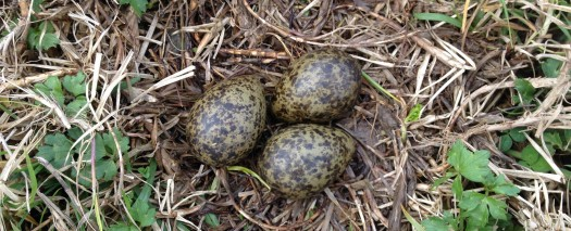 Eggs 2hrs later, Spur Winged Plover  resumed sitting. Some oil lost but am not sure how much (or for how long) is required to kill it.