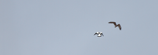 But the nesting Magpie is more persistent, even the SWP back off when he rockets up.