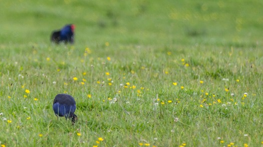 When the Pukeko pecked the ground I was worried it had caught the chick. I advanced slowly (still shooting) because I thought there could be chicks about.