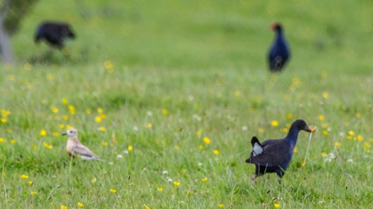 When I saw this flash of yellow I knew it was not eating grass. I then ran in and scared off the Pukeko.