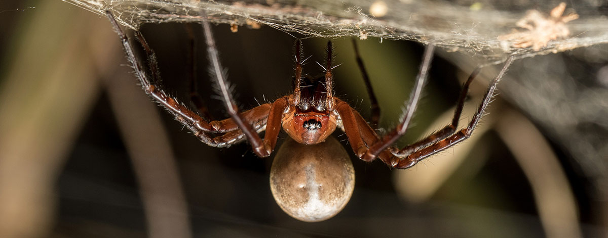 Sheetweb Spider