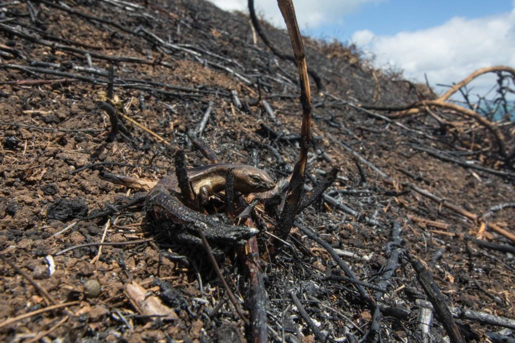 I found so many burnt corpses. In places near the edge of the fire (where I think it was less hot) there was a native skink corpse (I checked the head scales) every meter or so. While sad it is nice to know so many lived on the island.