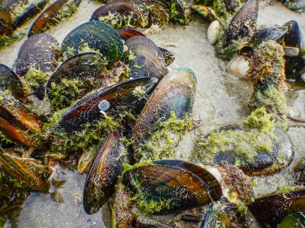 Green-lipped mussels Marsden Point. NOV 2017.