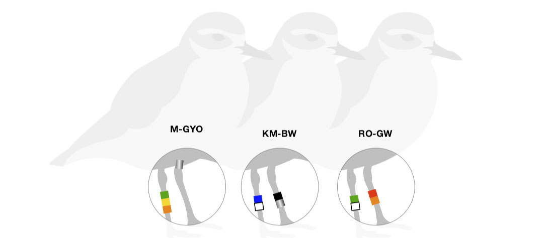 How to read coloured bird bands