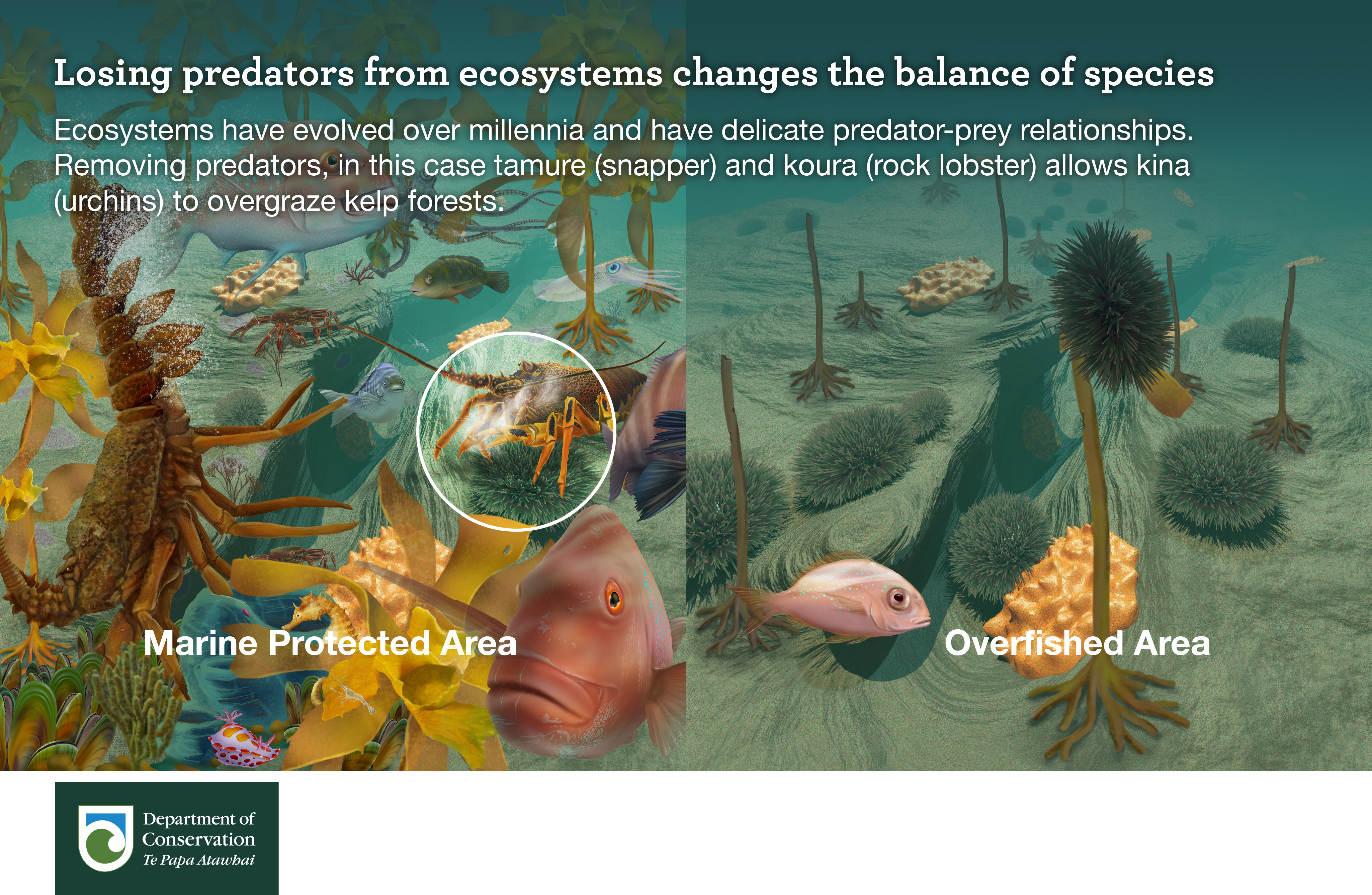 Loosing predators from ecosystems changes the balance of species